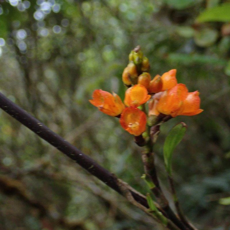Foto 12. Elleanthus aurantiacus.JPG