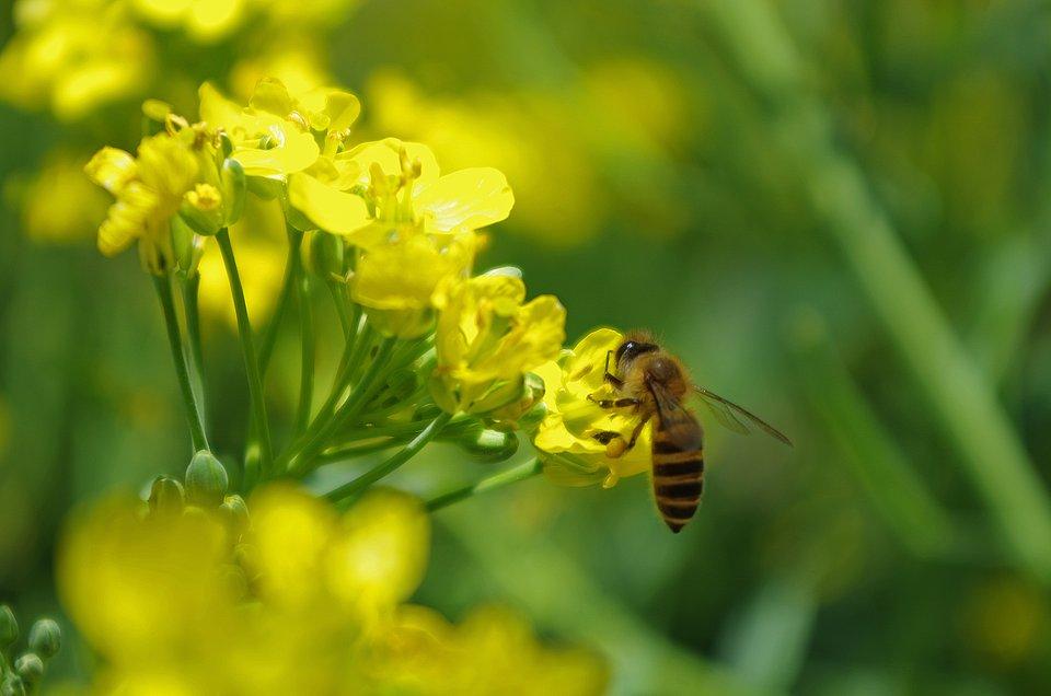 2020_05_20_Jej Wysokość Pszczoła - informacja prasowa IOŚ-PIB 2.jpg