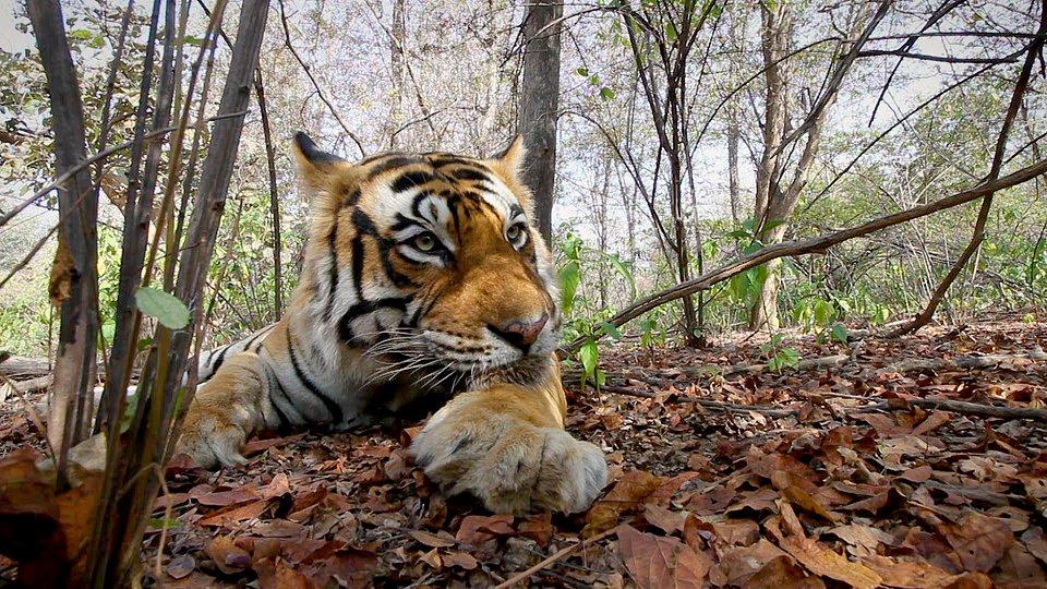 tygrys POLSAT