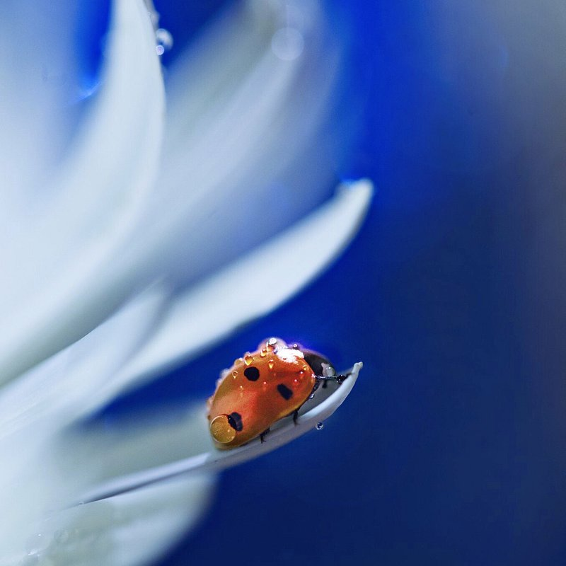 Ladybug by @maksimenko from Russia.jpg