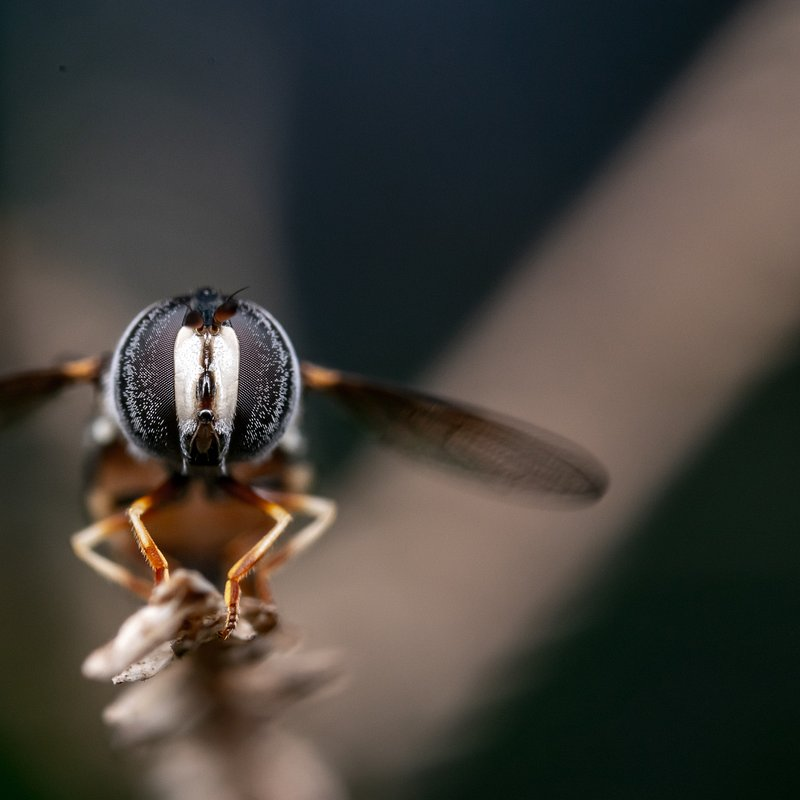 Hover fly by @achmadkamal92, Indonesia.jpg