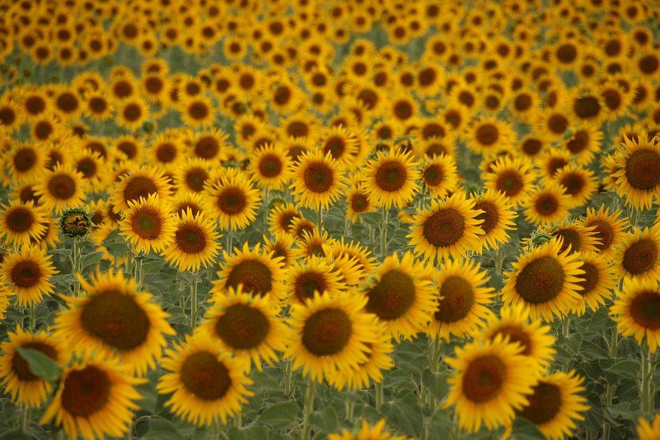 Sunflower field in Spain (Cosmin Calin Dediu / AGORA images)