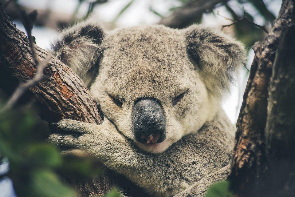 Sleepy koala in Queensland, Australia (Fabien Portal/AGORA images)