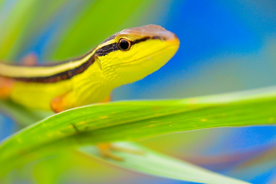 Yellow-striped slender tree skink in Indonesia (Faisal Achmad Taufik/AGORA images)