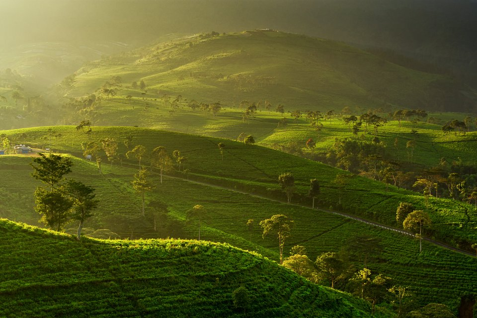 The sun is rising on the Kemuning Tea Gardens in Central  Java, Indonesia (Gani Prastowo/AGORA images)