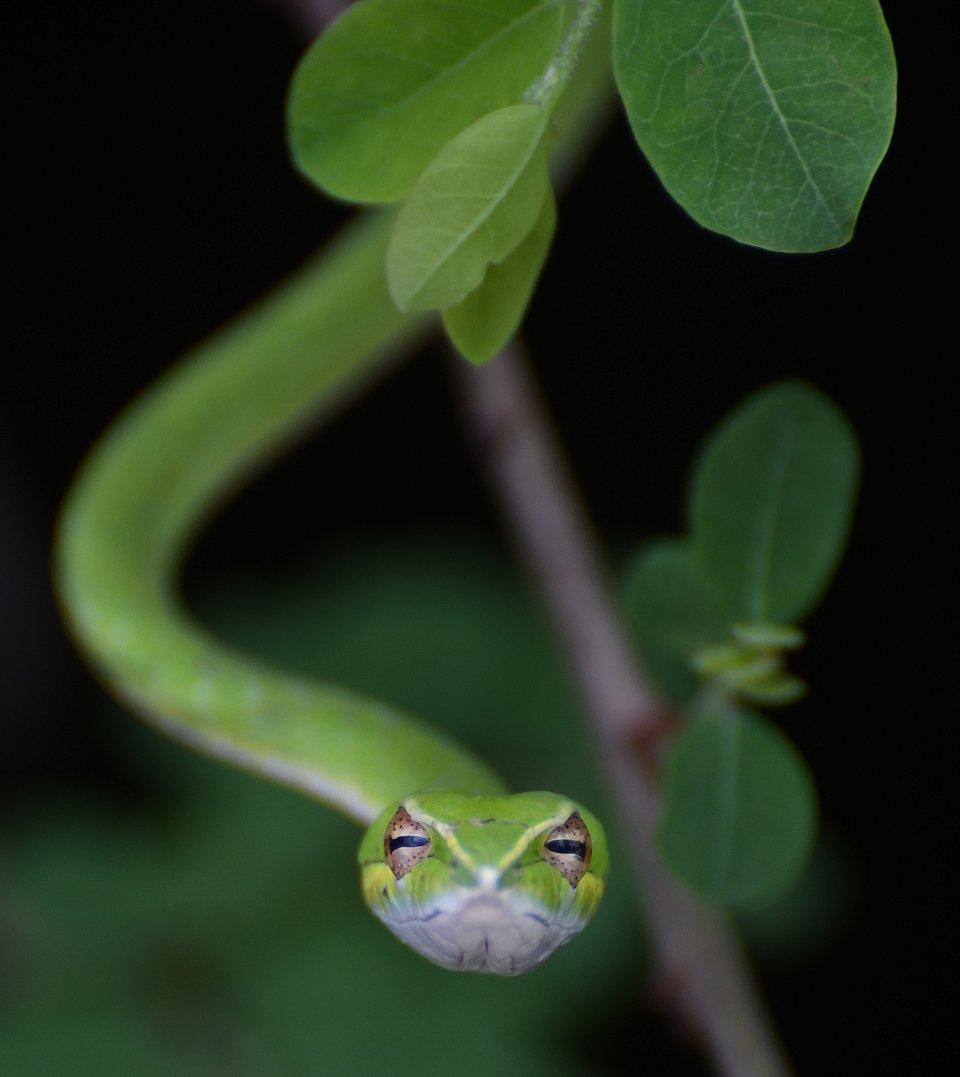 Green snake hypnotizing look, India (Hareesh Veeragoni/AGORA images)