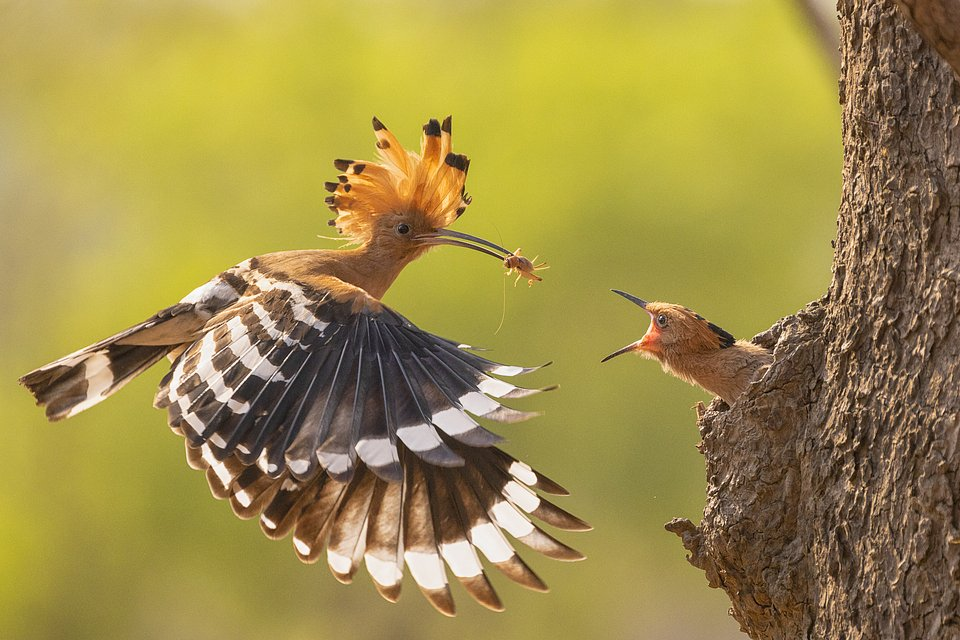 Perfect timing of this Hoopoe bird's lunch delivery, Myanmar (Naing Tun Win Bagan/AGORA images)