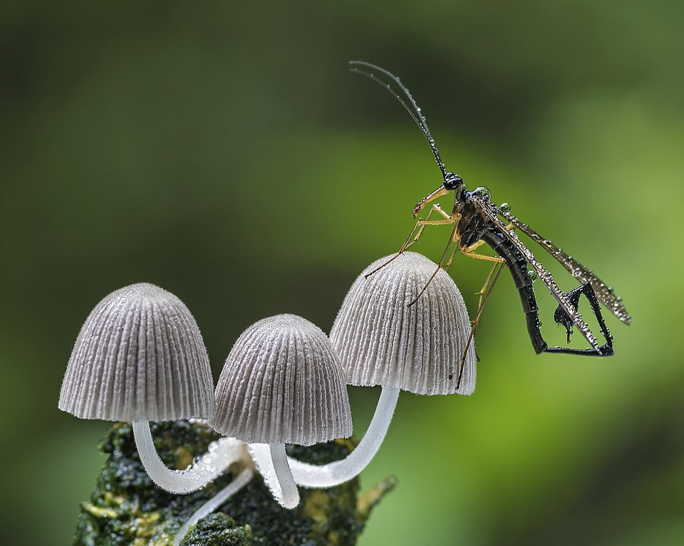 A scorpionfly standing alone on top of a mushroom (Imam Primahardy/AGORA images)