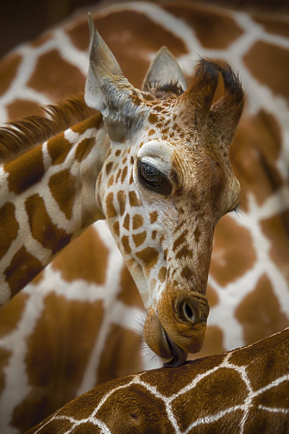 Giraffe at Cologne's zoom, Germany (A.Rosenthal/AGORA images)