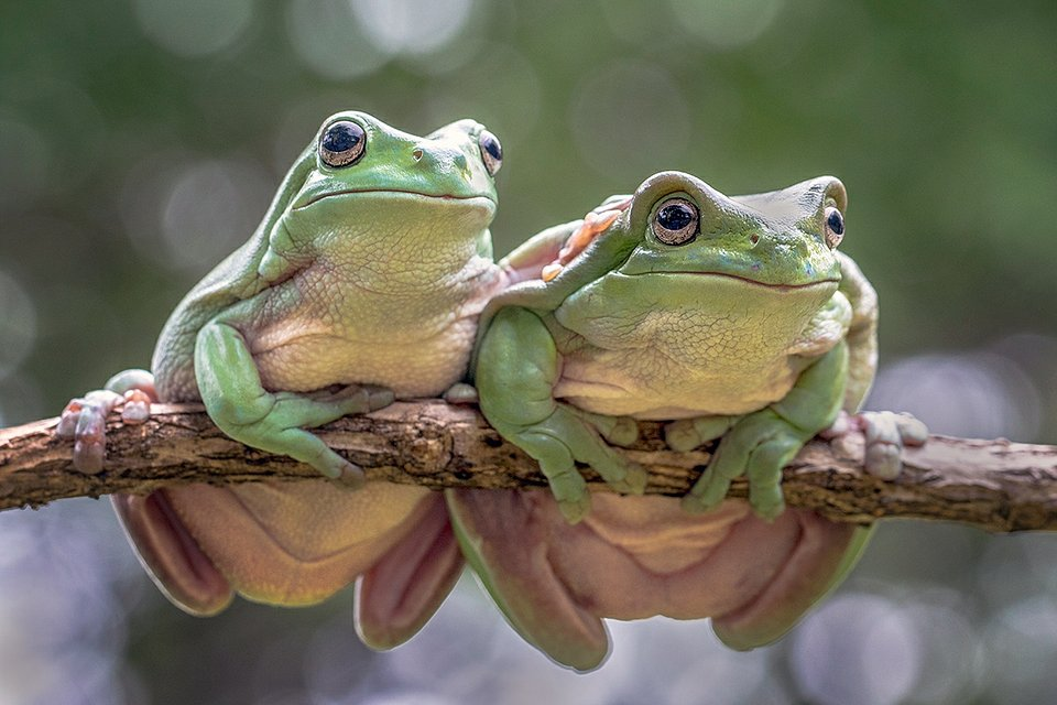 A couple of curious toads (Hendy Lie/AGORA images)