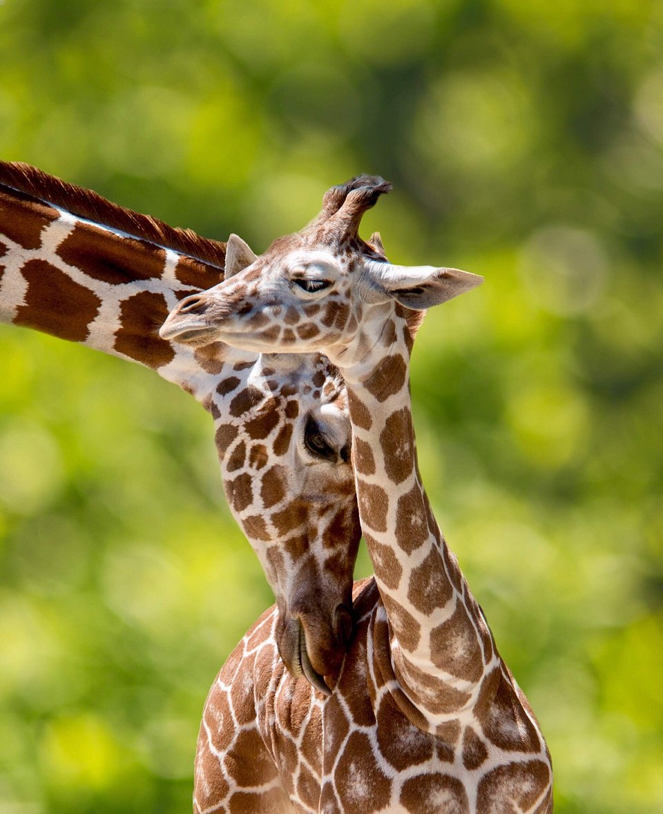 First day out for this baby giraffe in San Luis' zoo, USA (Amanda Castleman/AGORA images)