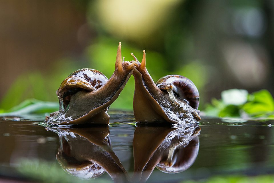 Two snails kissing in Saudi Arabia (Alvin Purificacion/AGORA images)