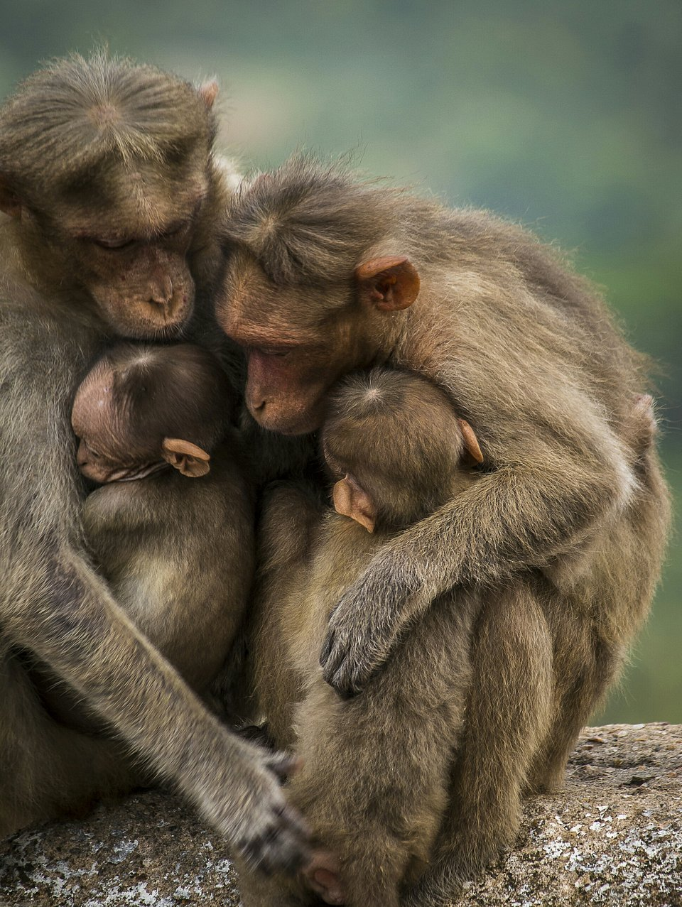Macaque family hug in India (Pavan Prasad/AGORA images)