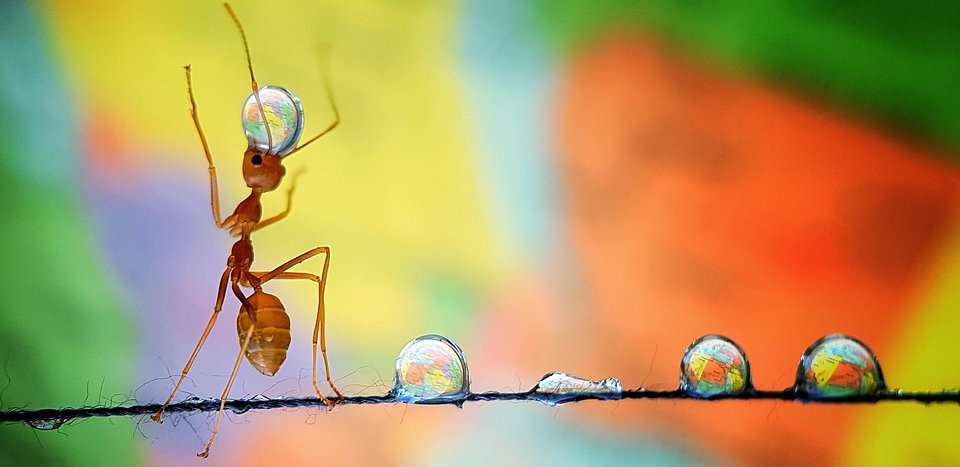 It took the photographer 4 hours to take this shot of an ant carrying water drops spreaded on a piece of thread (Analiza De Guzman/Agora)