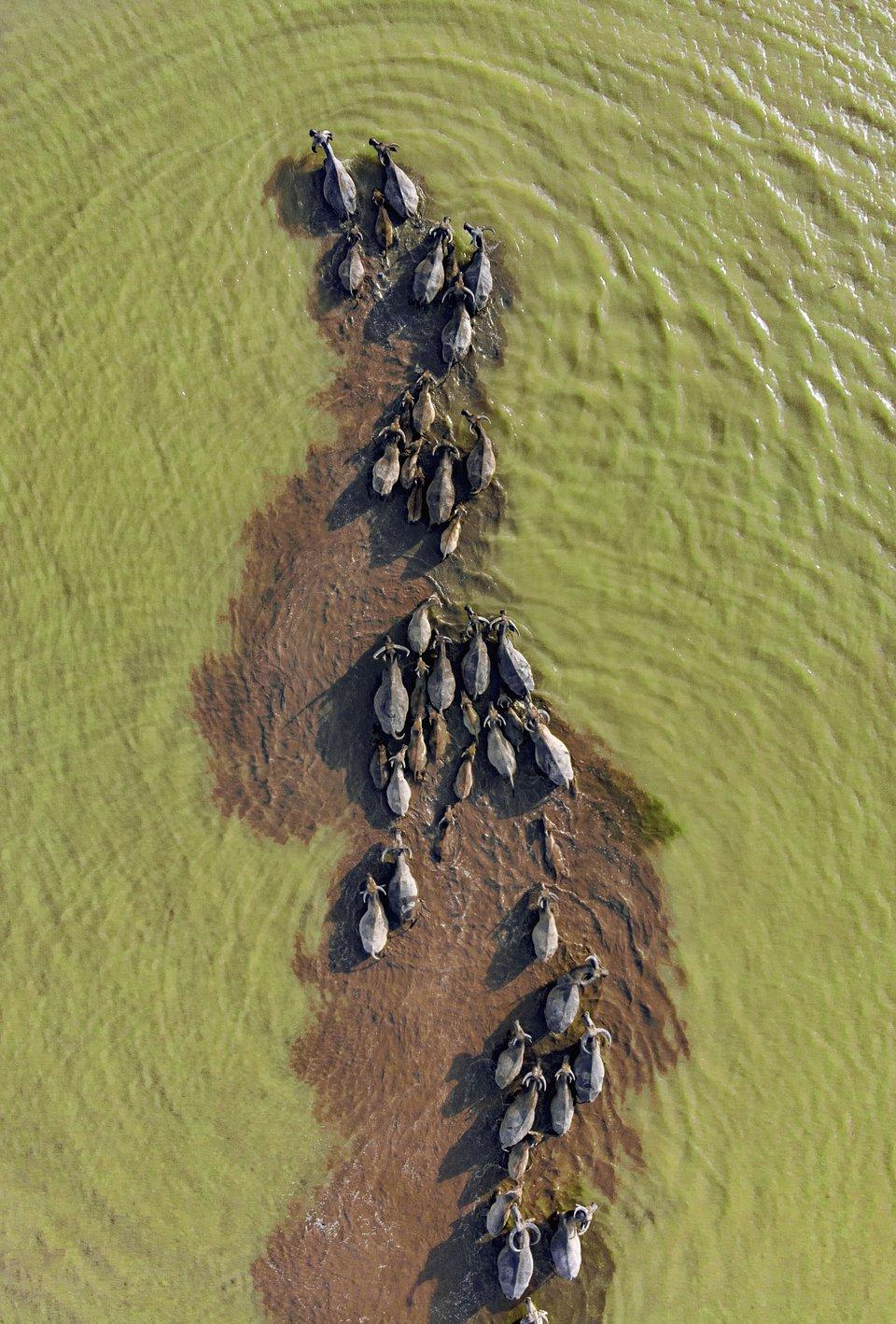 Buffalos bathing in Pleiku, central vietnam (Hoang Quocvinh/Agora)