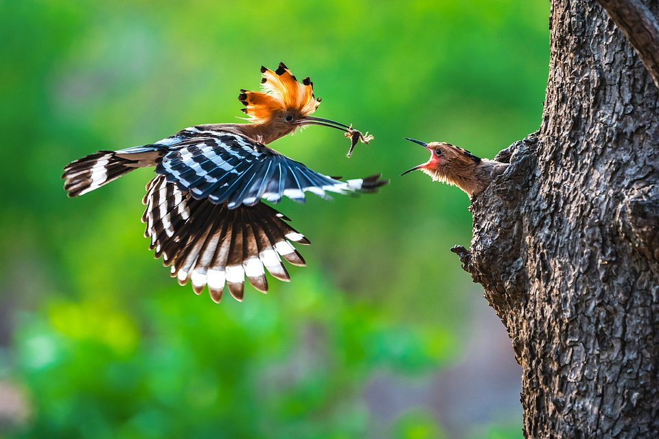 Perfect timing for this shot of an Hoopoe bird feeding its chicks (Phyo Moe/Agora)