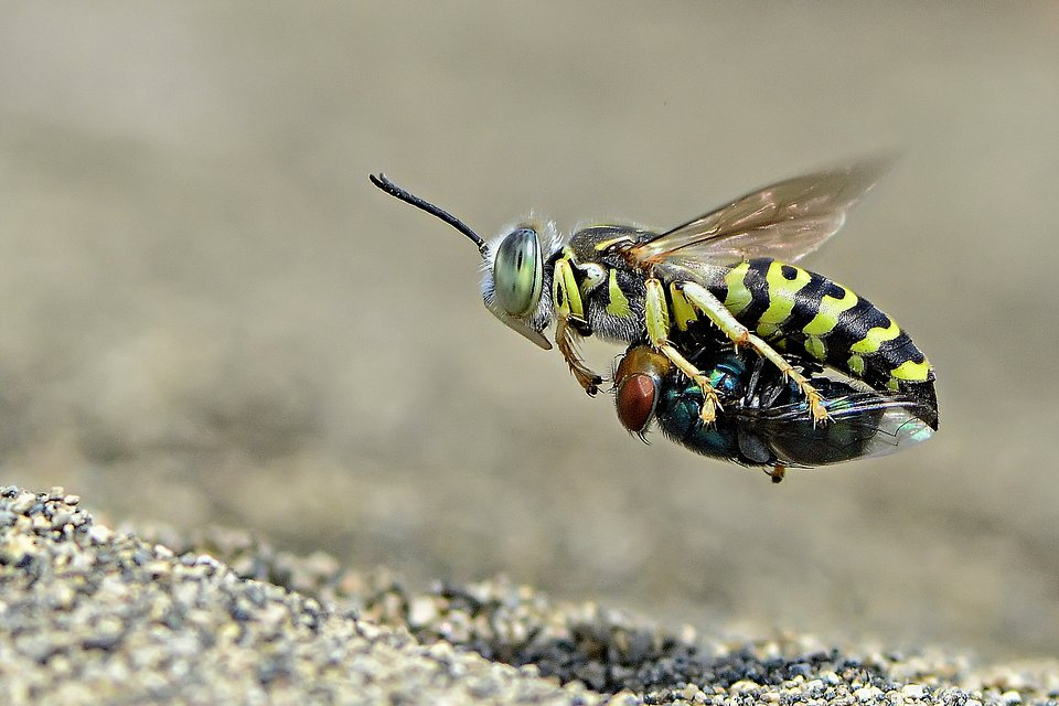 This wasp is on a mission to bring its prey home! (Imam Primahardy/Agora)