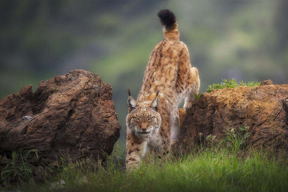 Lynx spotted in the Cábarceno Natural Park (Sergio Saavedra/Agora)