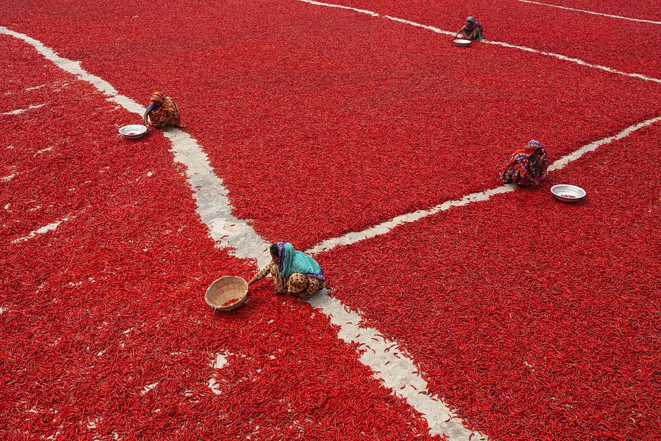 Chilli pepper farm in Bogra, north Bangladesh (MD Jakir Hossain Rana/AGORA images)