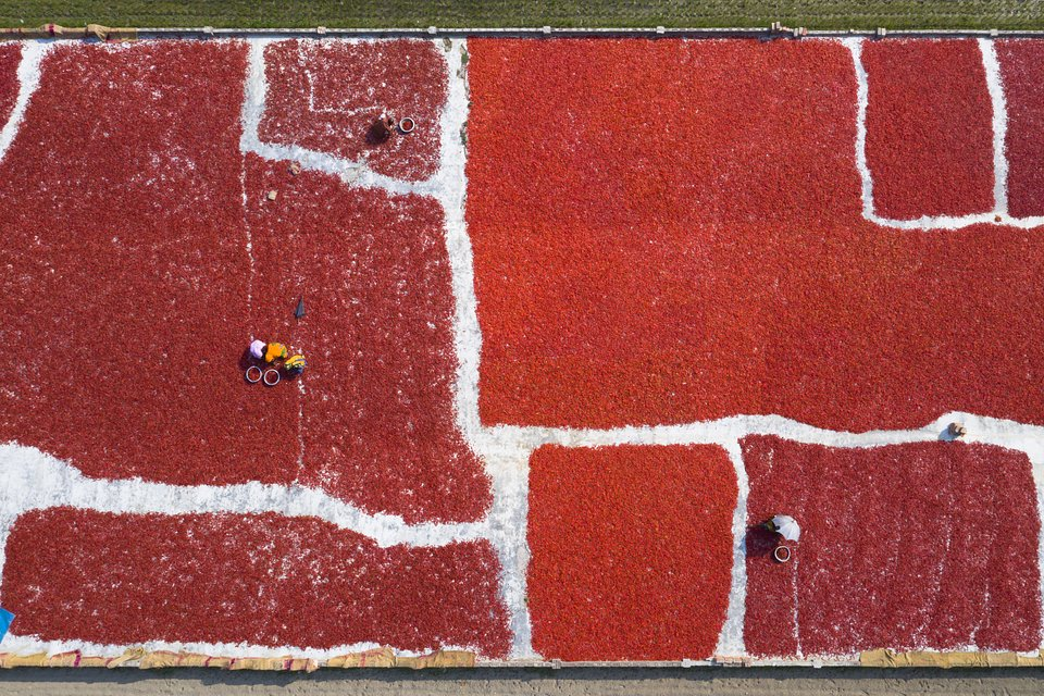 Drone camera shot of chili fields in Sariakandi Bogra, Bangladesh (M I Momin/AGORA images)
