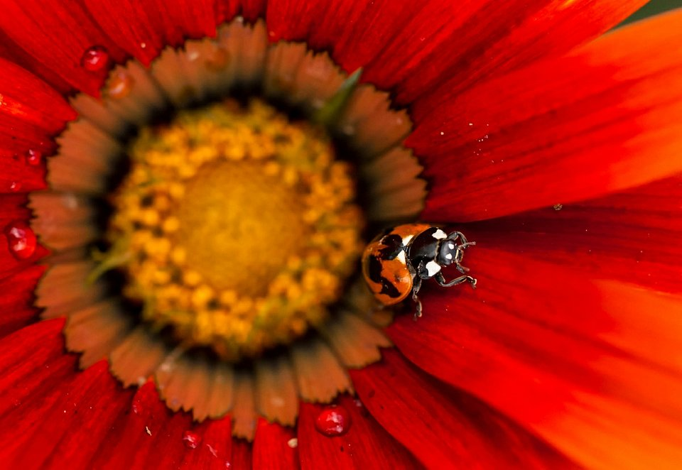 If a ladybug lands on you, it is believed that the stronger its red color, the better your luck will be  (Ummid Shakya/AGORA images)