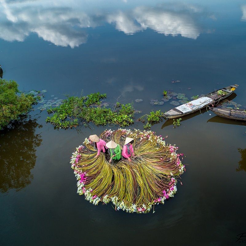 'Water lily harvest season' Khan Phan:AGORA images.jpg