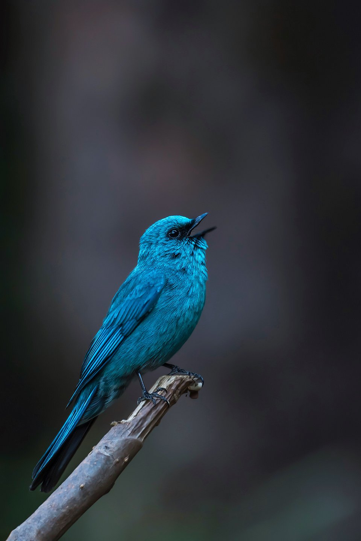 This electrifying bird called the Verditer Flycatcher, was shot in Surat, India. (Mitesh Patel/Agora)