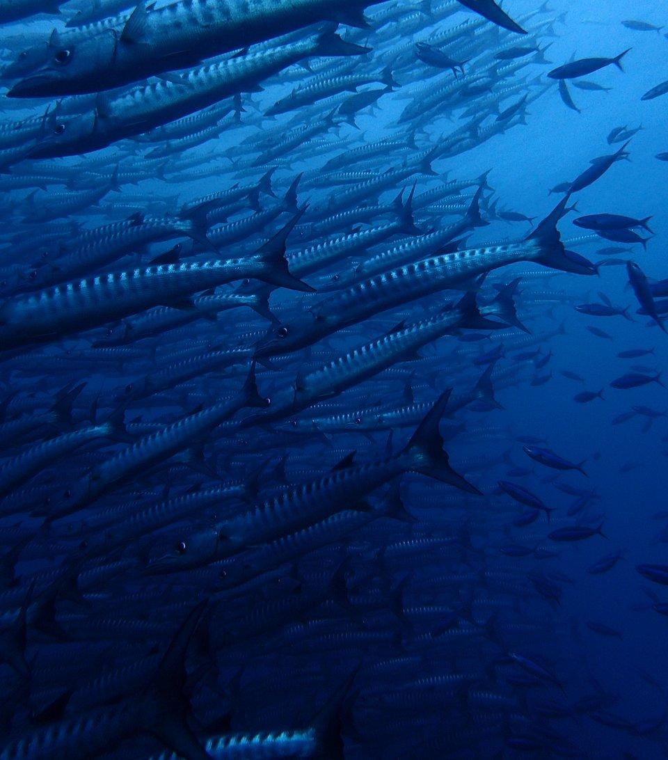 A school of Barracudas surrounded de Martin as he dove into Barracuda point, Malaysia, resulting in this magical photo. (Alex de Martin/Agora)