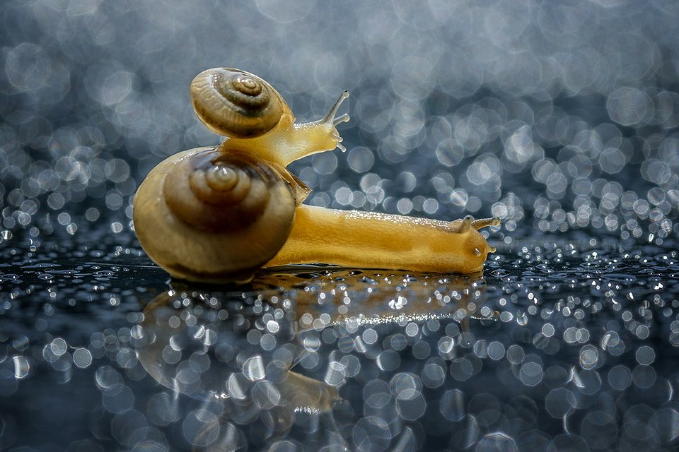 A snail family making their way through a wet patch. (Hendy Lie/Agora)