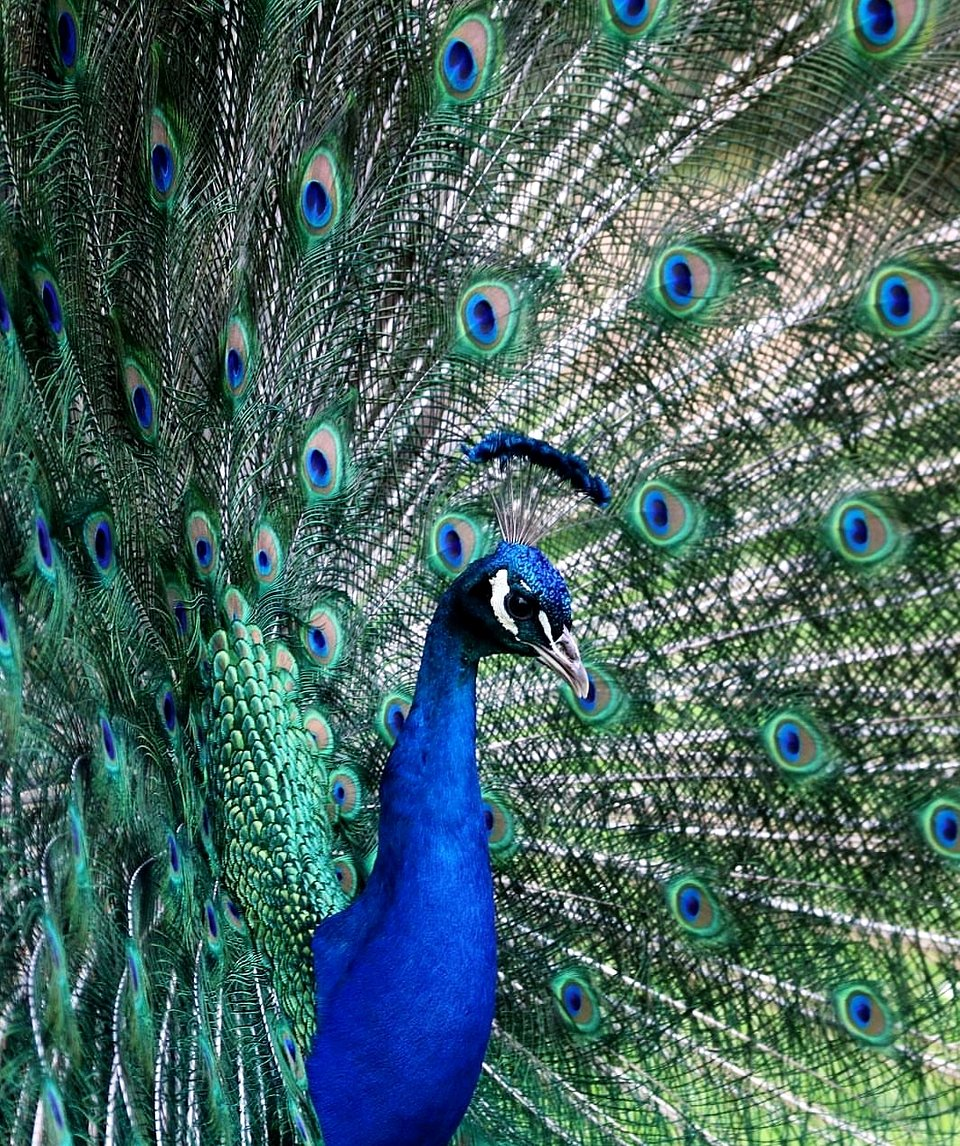 The colors and vividness of the peacock stand out as he struts, posing for the camera. (Lindita Fanaj/Agora)