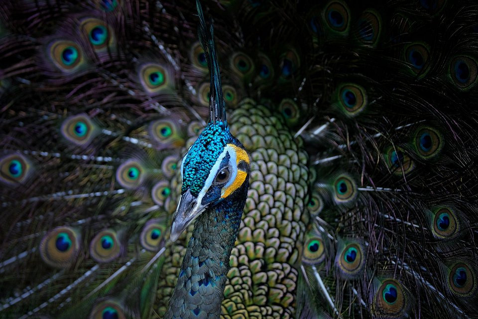 The brilliance of this peacock's feathers seem to shine through the camera lens. (Agora)