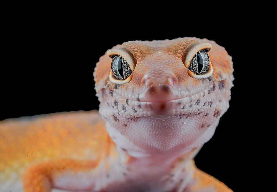 This photo shows the sharpness of this gecko's eyes while he is hungry and looking for food. (Agora)