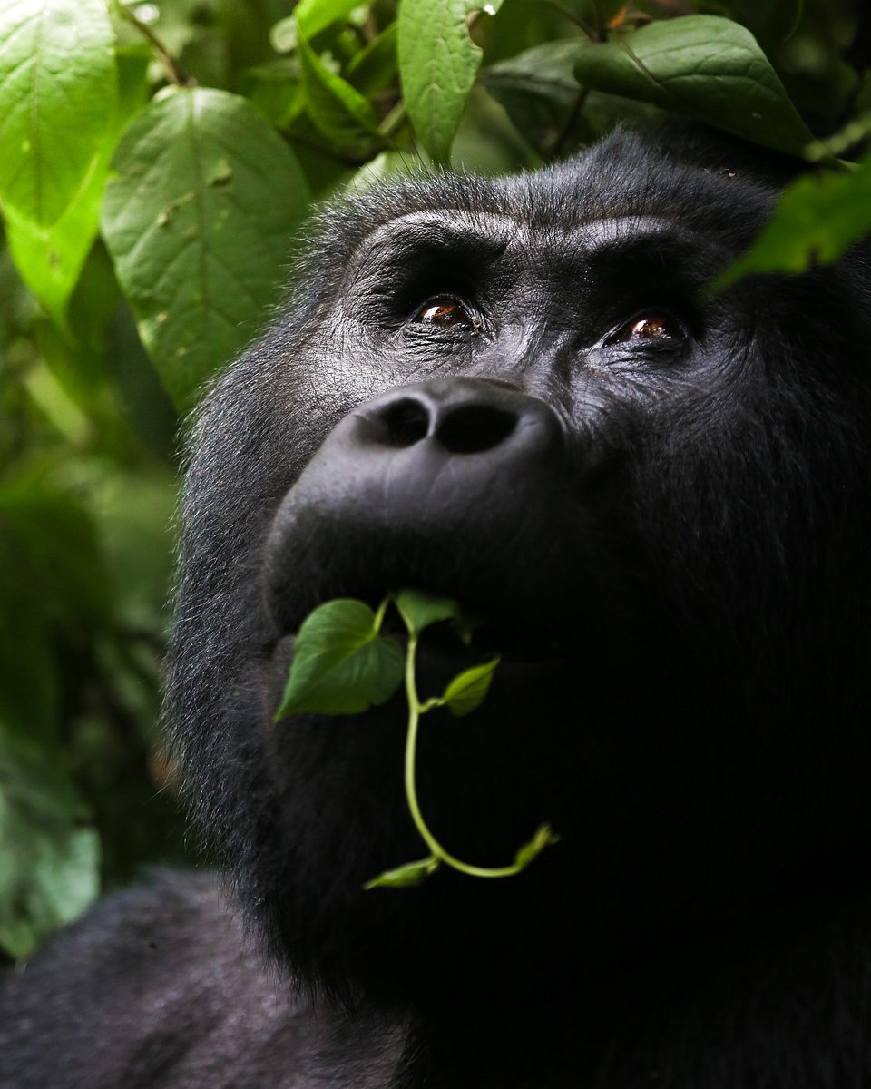 A Wild Silverback Gorilla enjoying some vegetation on an average day. (Agora)