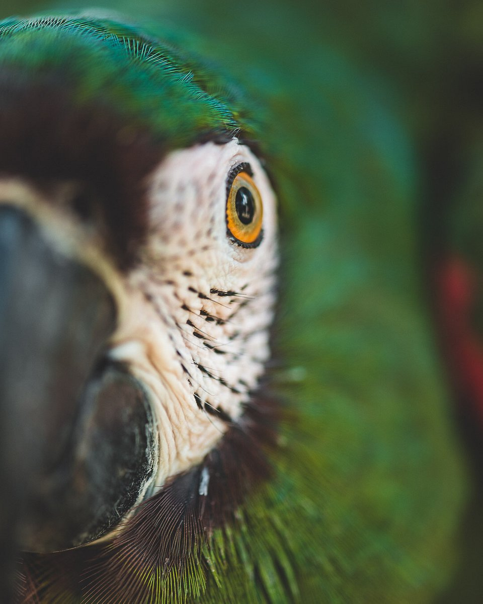 Parrots have eyes placed on the side of their head, so they have a wide range of vision, but also a blind spot directly in front of their beak. (Agora)