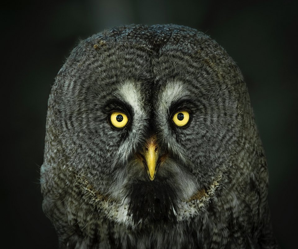 @saavedraphotography explains that this great gray owl held a penetrating gaze that captivated him. He believes that owls are animals that say it all with their eyes. (Agora)
