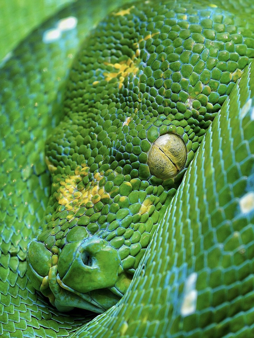 A giant snake angrily awakens from its slumber, showing off its bright lime-colored eyes. (Agora)
