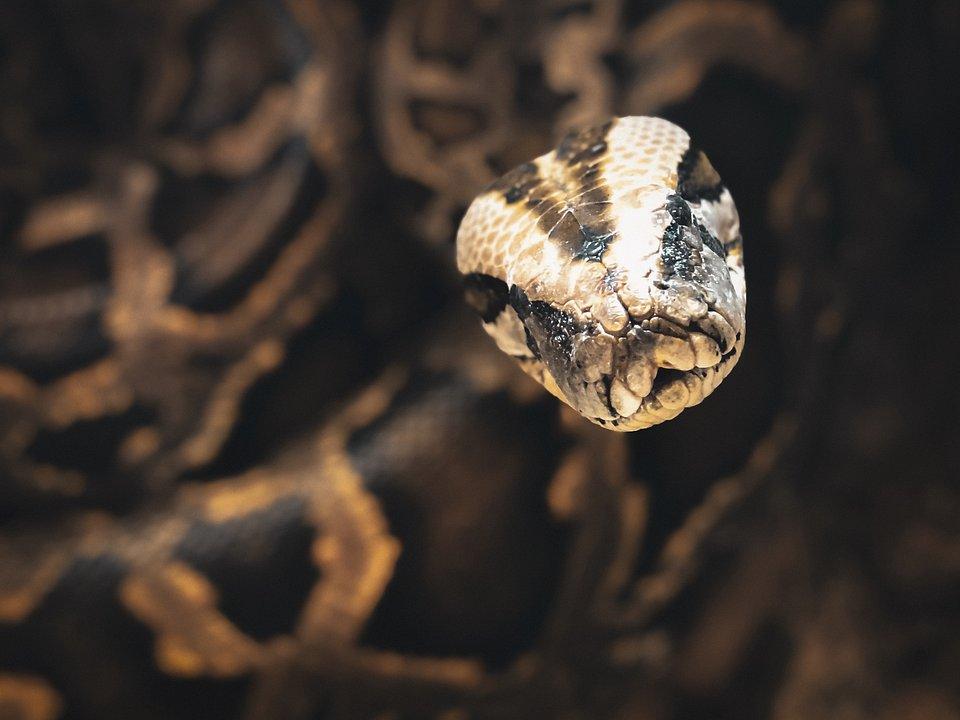 Location: Local snake handlers, USA