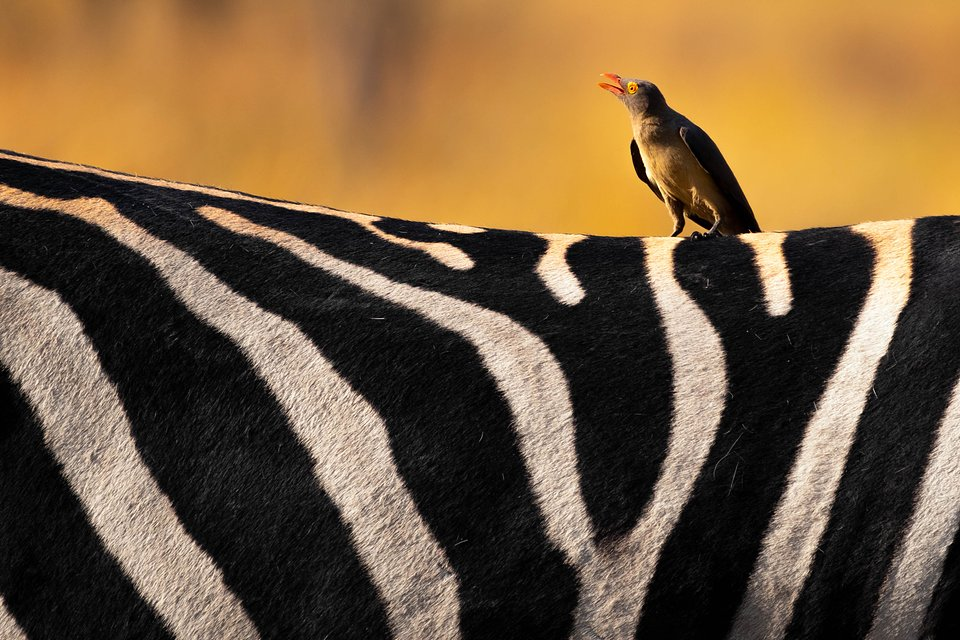 Location: Moremi Game Reserve, Botswana.