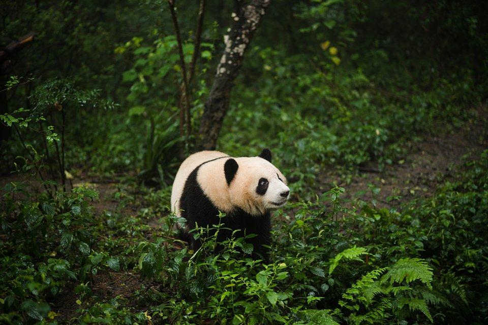 Location: Breeding Panda Center, Chengdu, China