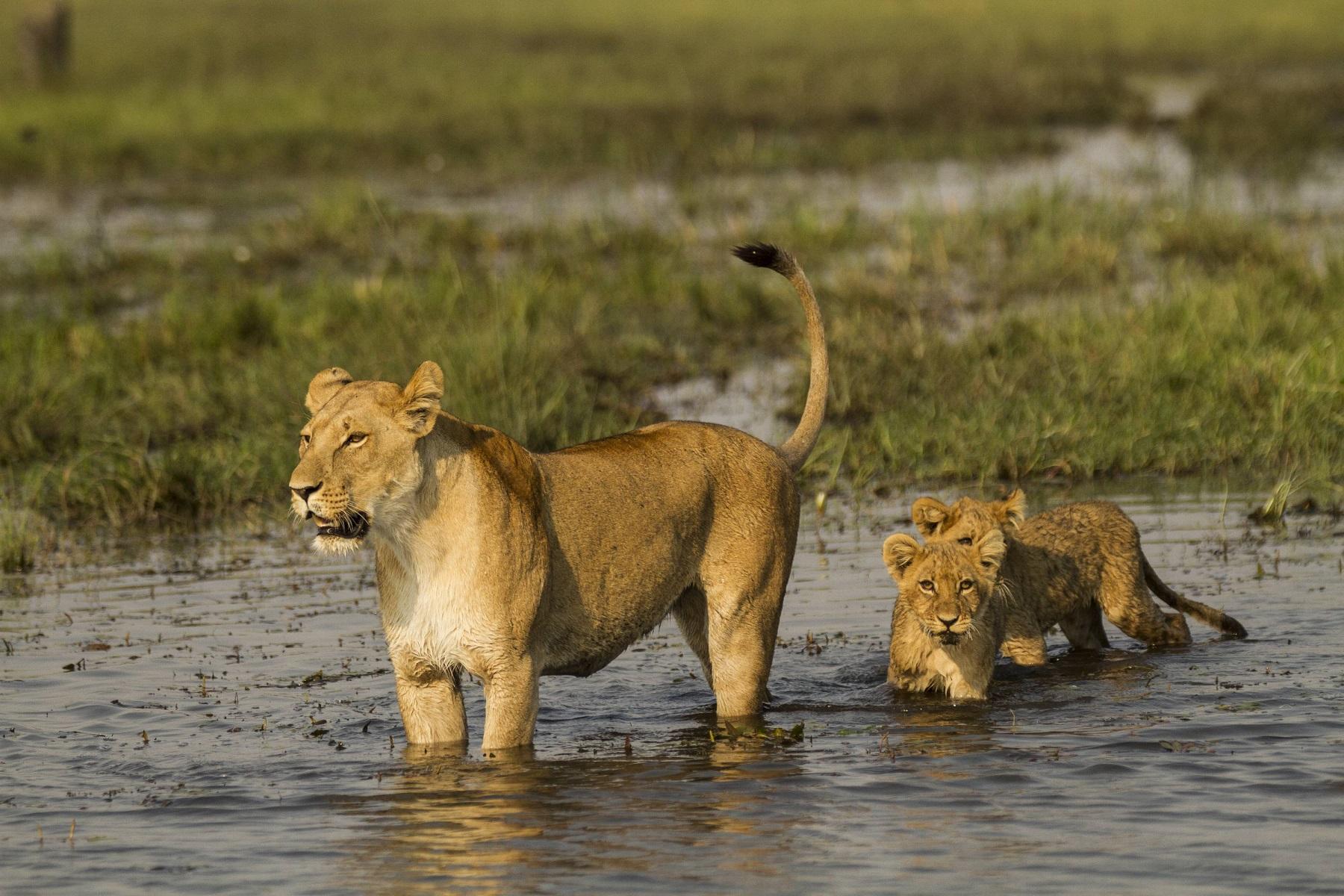 """Najwięksi koci drapieżnicy świata powracają na antenę Nat Geo Wild w """"Miesiącu z wielkimi kotami"""""""