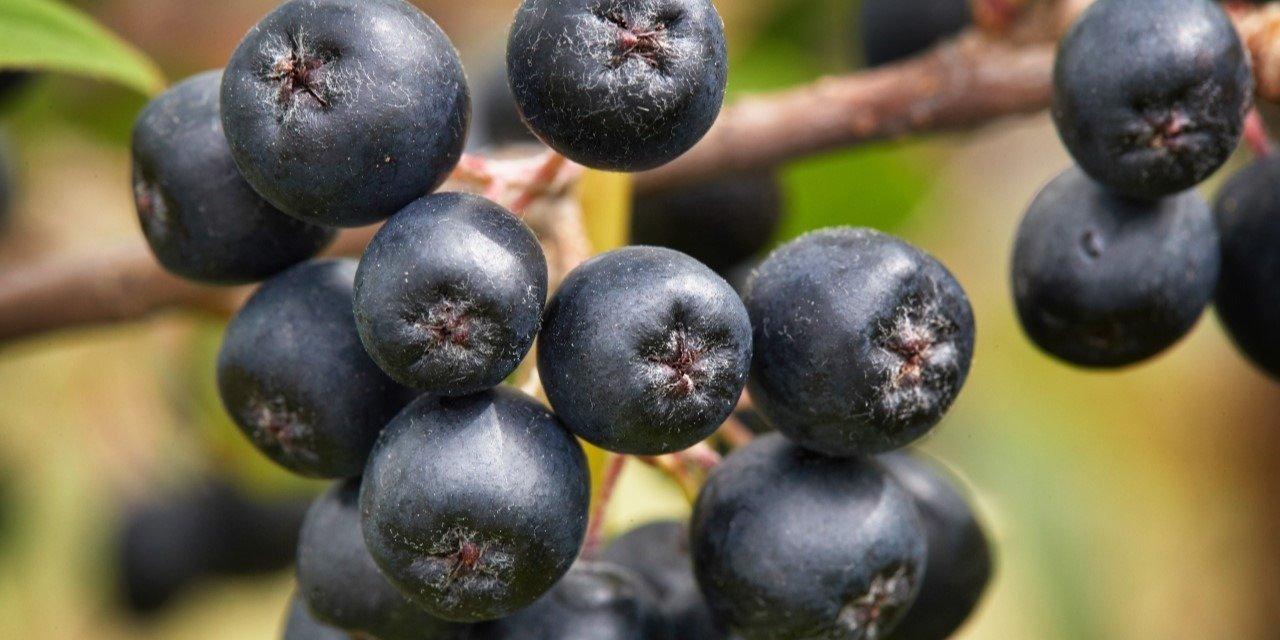 Aronia – czego ma najwięcej spośród wszystkich owoców?