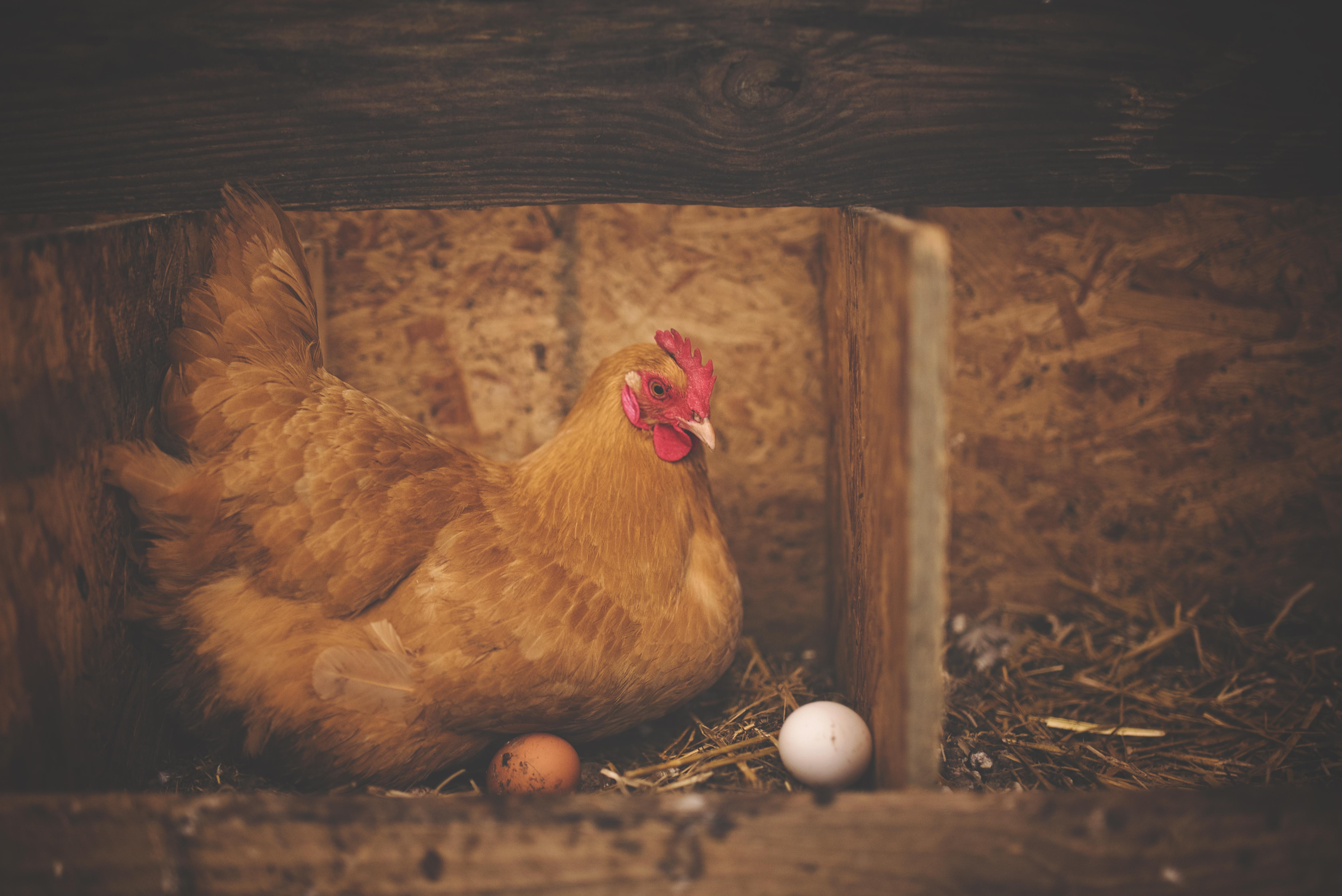 Kury znoszące jajka z lekiem?