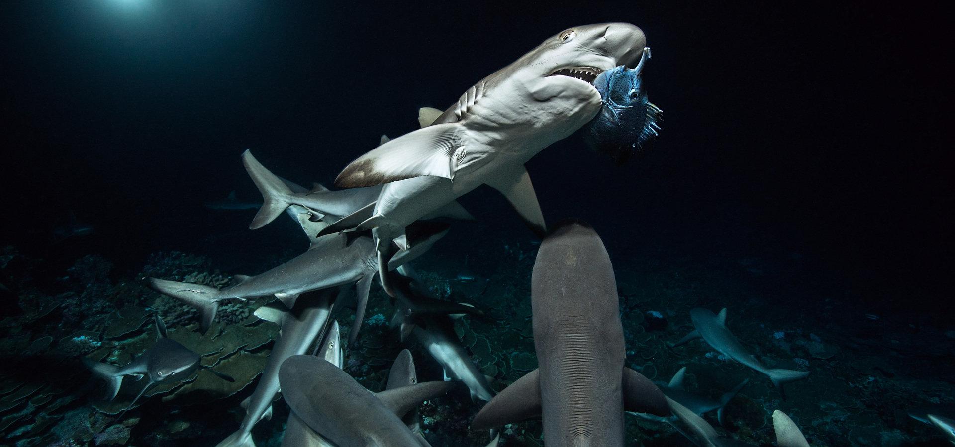 """Przerażające? Niebezpieczne? A może nieznane i niedoceniane? Cała prawda o rekinach podczas """"Tygodnia z rekinami"""" na kanale Nat Geo Wild"""
