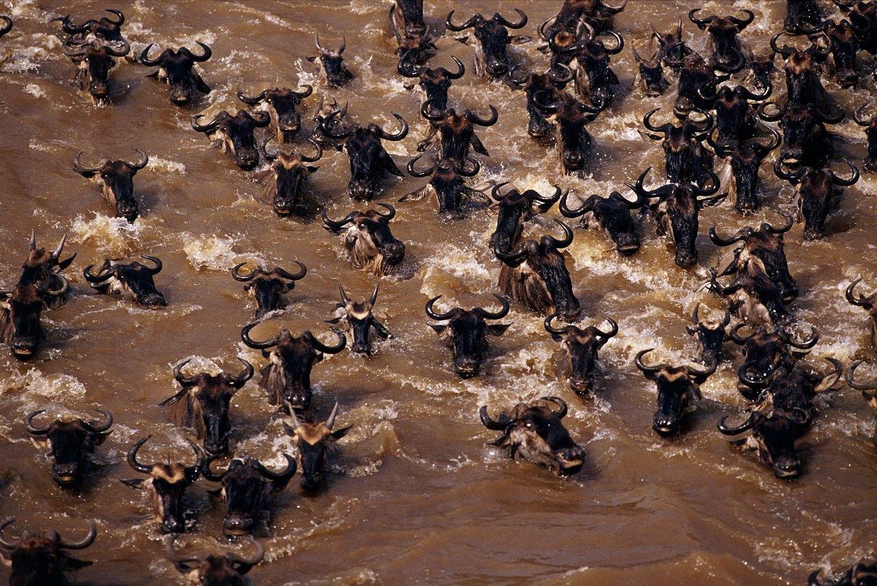 """""""Wyzwania natury"""" to przepiękne i niezwykle malownicze spektakle ze zwierzętami w roli głównej. Zobaczcie wielkie wędrówki gatunków w sierpniu na kanale Nat Geo Wild"""