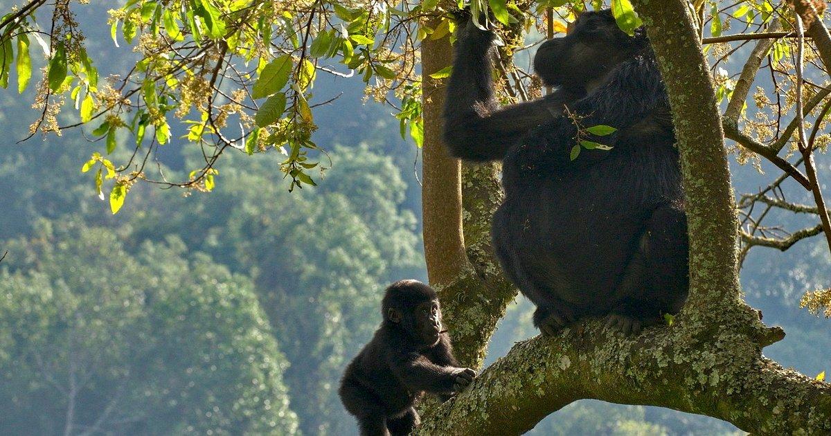 Goryle, szympansy, słonie, hipopotamy i hieny – to tylko nieliczni przedstawiciele niezwykłego świata zwierząt Ugandy. Poznajcie ich podczas niecodziennej podróży z kanałem Nat Geo Wild