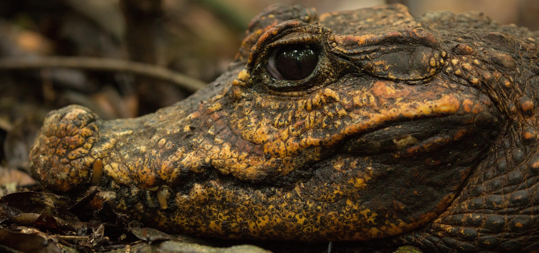 Są karłowate, ślepe i pomarańczowe – krokodyle z jaskiń Gabonu to jedno z największych przyrodniczych odkryć ostatnich lat. National Geographic Wild pokaże nam je z bliska!