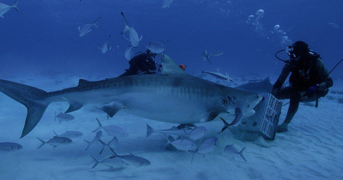 Czy o zagrożeniu atakiem rekina dowiemy się… z prognozy pogody?