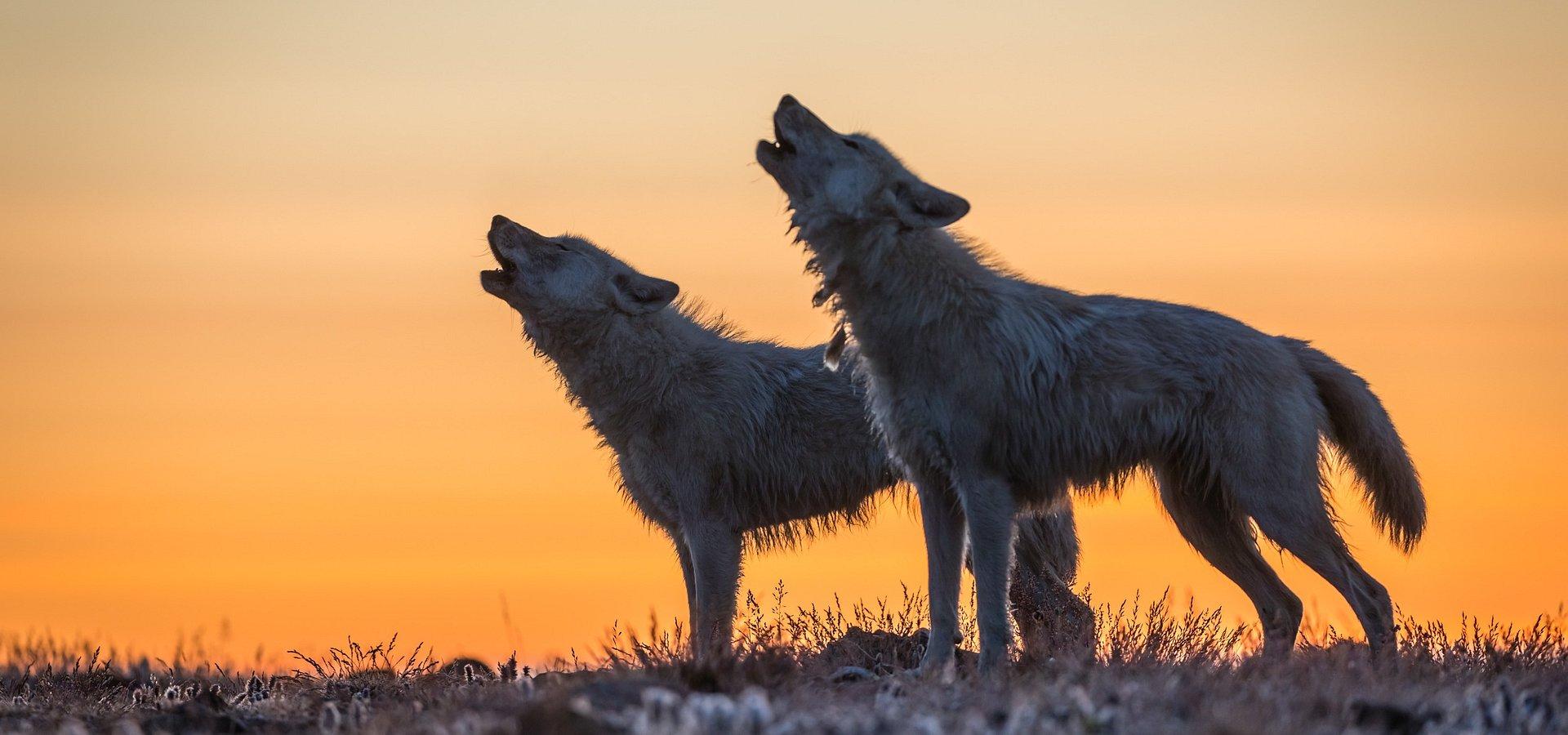 To ostatnie miejsce, gdzie wilk może być wilkiem. National Geographic Wild dotarło tam z kamerą