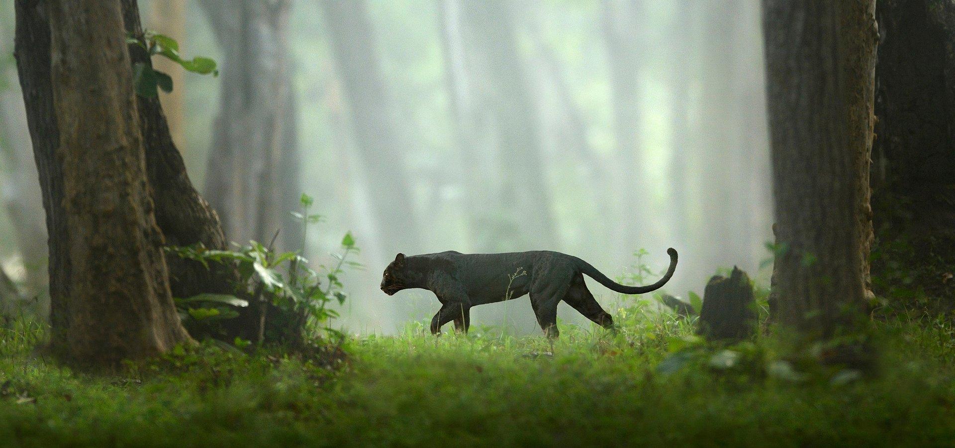 """""""Miesiąc z wielkimi kotami"""" na kanale National Geographic Wild. Czy najbardziej majestatyczni zabójcy świata zwierząt sami są w niebezpieczeństwie?"""