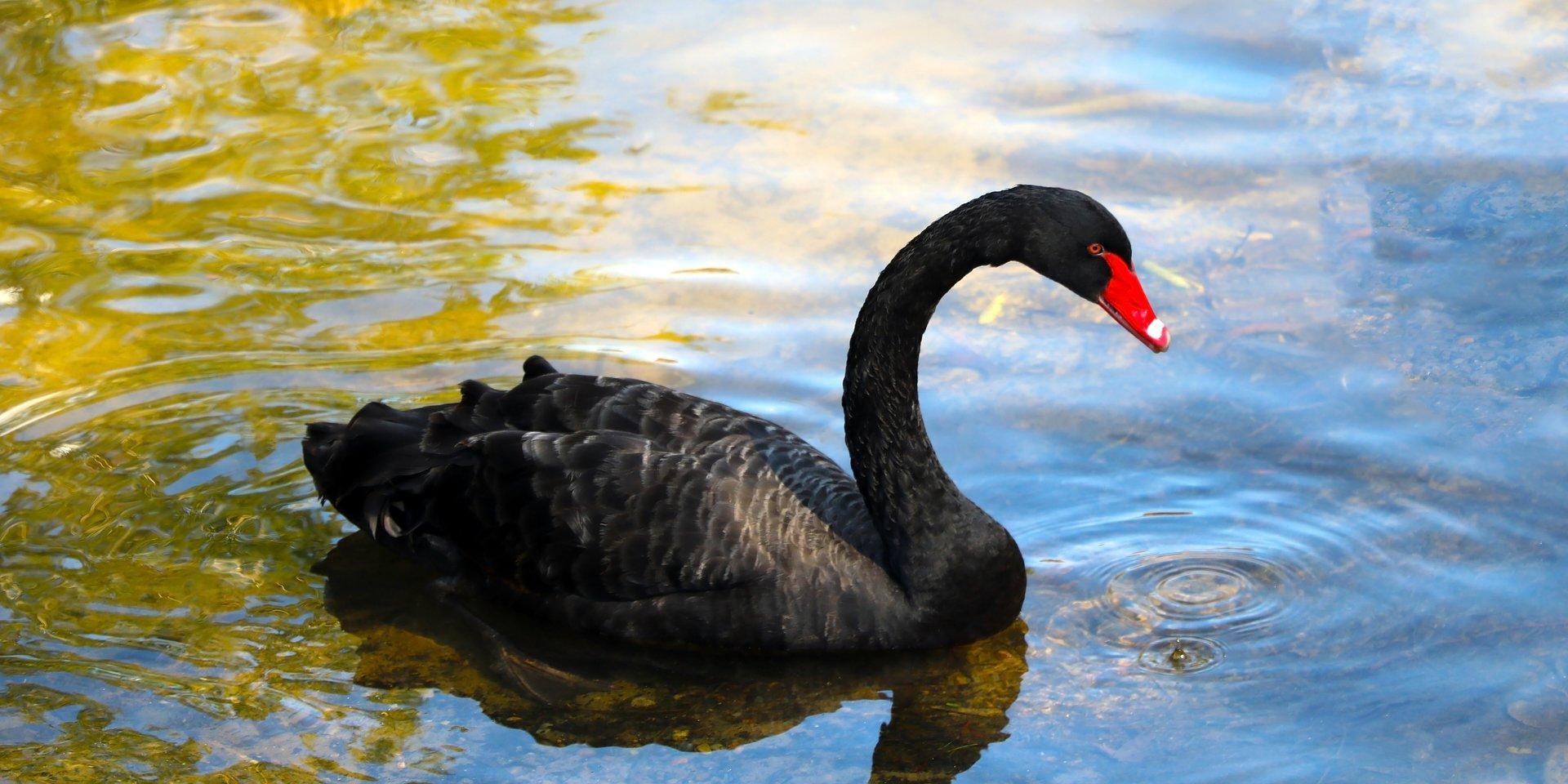 Czarne łabędzie - jak zarządzamy ryzykiem?